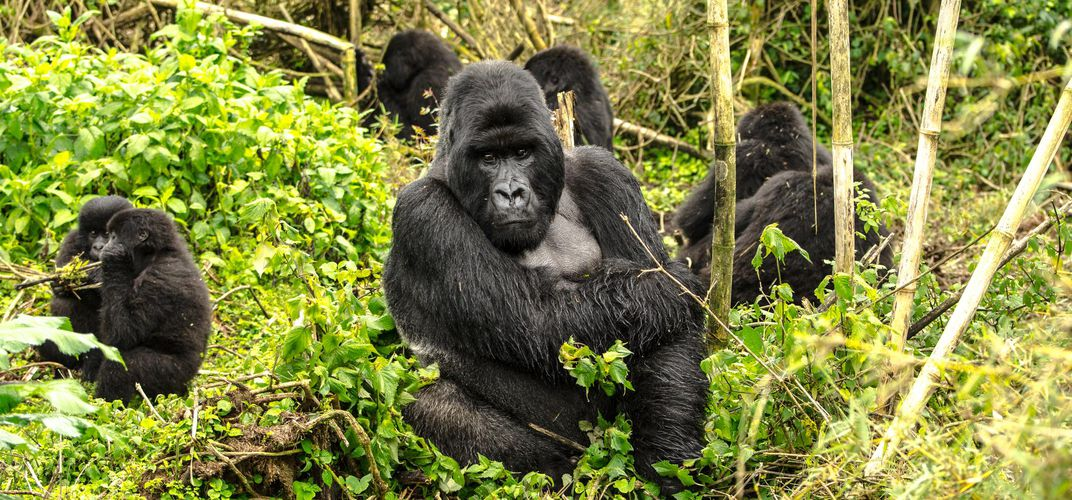 Gorilla family, Volcanoes National Park