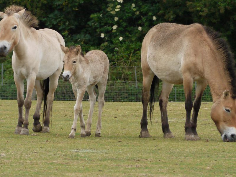 In a grassy field, a Przewalski's horse foal stands in between two adults in a grassy field with trees in the background. The horses have a stocky build, a reddish-tan coat and dark, mohawk-like manes.