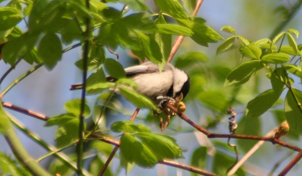 """Part of the reason that we chose the chickadee (above in a native box elder) as a model species,"