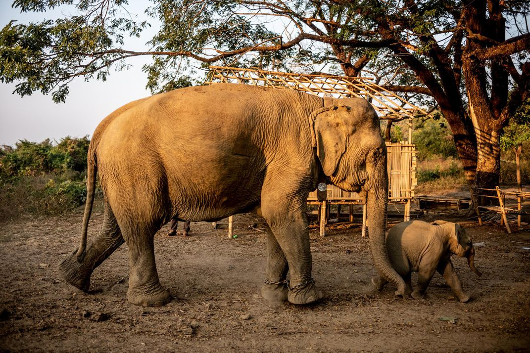 A recently collared captive elephant and her calf