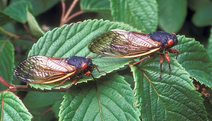 What to Expect When the Cicadas Emerge This Spring