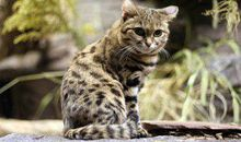 Seven Threatened Cats You May Not Know