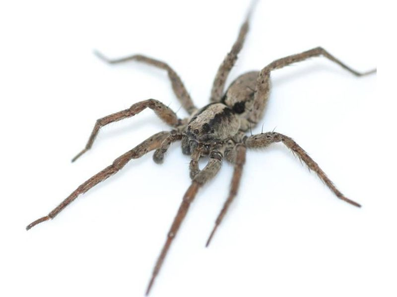 Listen to the Dulcet Purr of a Wolf Spider   Smart News   Smithsonian