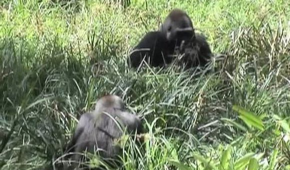 Preview thumbnail for video'A Gorilla Family in the Wild