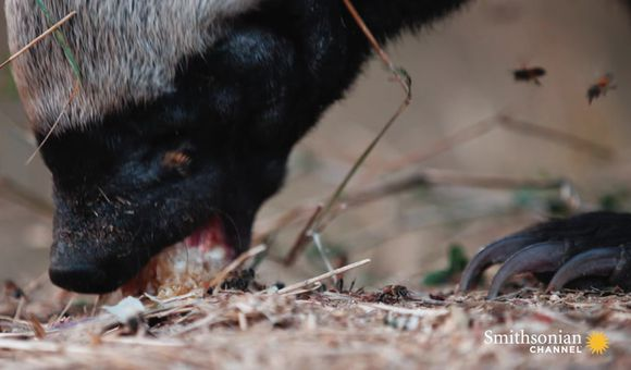 Preview thumbnail for video'This Honey Badger Endures Bee Stings for His Favorite Treat