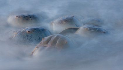 Photo Contest Finalist: Horseshoe Crabs Go Wild