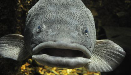 "Cod May Have Regional ""Accents"" That Could Spawn Trouble When Breeding"