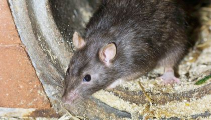 Humans Outnumber Rats in NYC