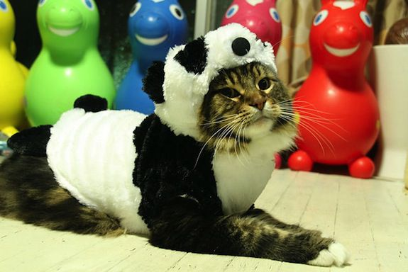 Since cloning won't work, maybe we can dress up cats and just pretend.