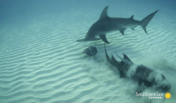 Preview thumbnail for video'Hammerhead vs. Stingray
