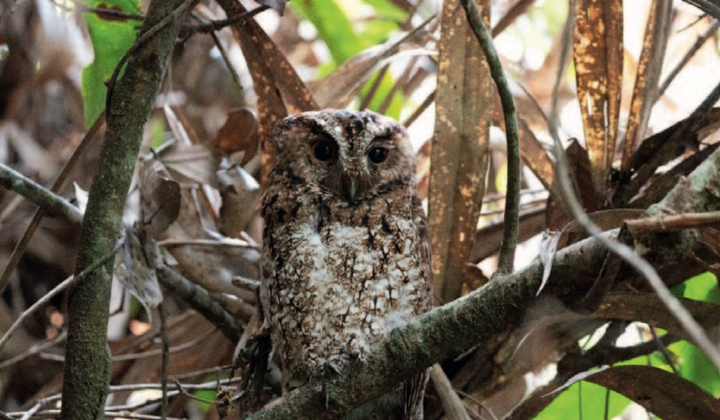 Owl Documented for First Time Since 1892