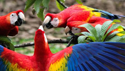 A Macaw Breeding Center Supplied Prehistoric Americans With