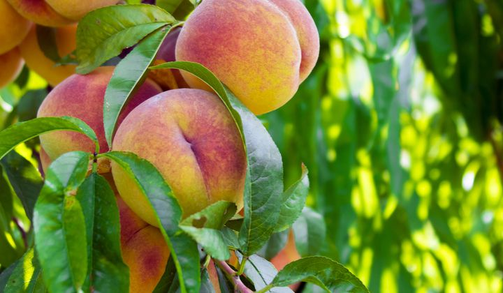 The Myth of the Georgia Peach