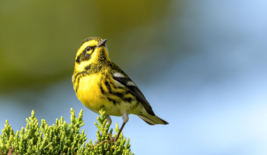Townsend's Warbler is named after 19th century American naturalist John Kirk Townsend, who robbed the graves of Native Americans.