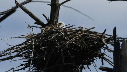 Bald Eagle Nest With Eggs Spotted on Cape Cod for the First Time in 115 Years