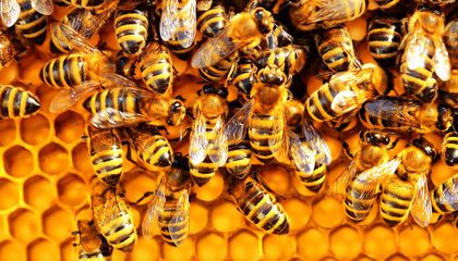 Researchers Create First-Ever Honey Bee Vaccine