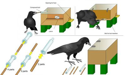 Crafty New Caledonian Crows Can Assemble Tools