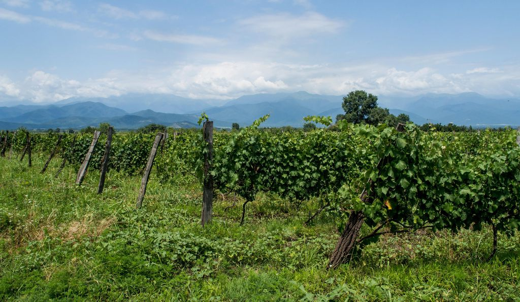 Vineyards in Kakheti.