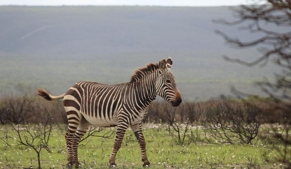 The cape mountain zebra, known for its distinctive barcode-like stripe pattern.