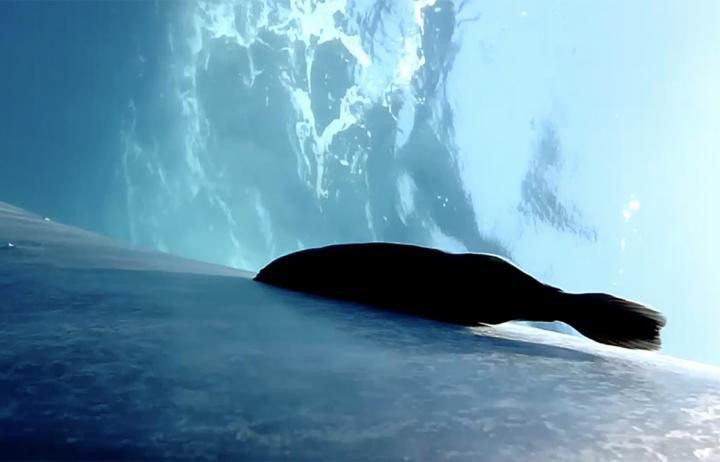 A remora attached to the skin of a blue whale. Waves at the water's surface are seen from beneath.