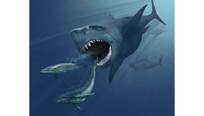 Megalodons, the Ocean's Most Ferocious Prehistoric Predators, Raised Their Young in Nurseries