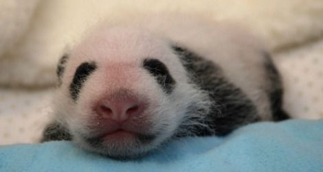 The panda cub receiving her first veterinary exam