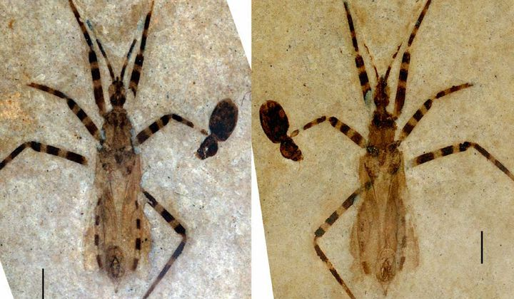 Ancient Insect Genitals Found in Fossil