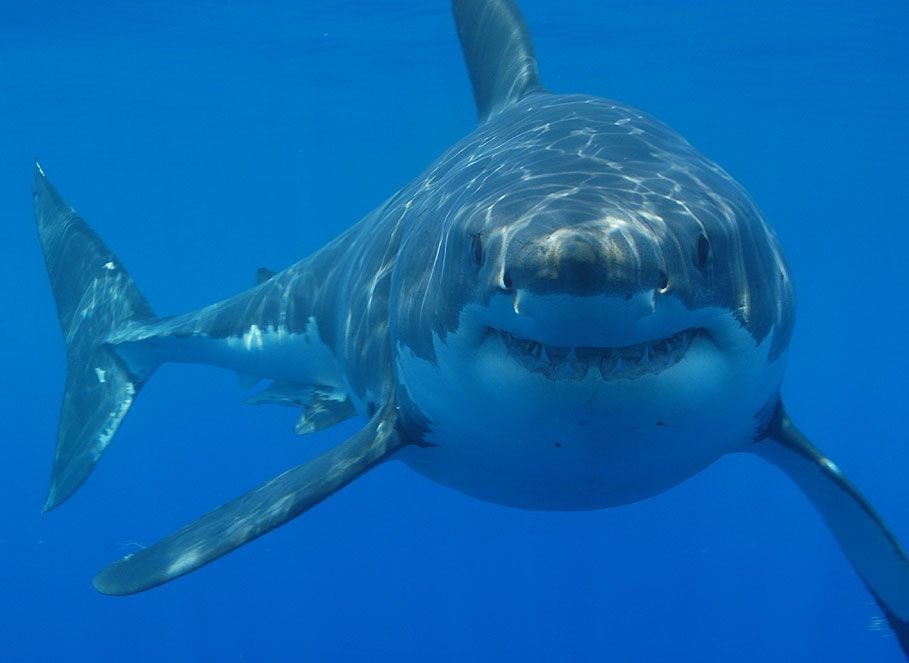 Did Great White Sharks Drive Megalodon To Extinction Smart News