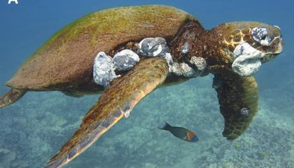 Pollution From Hawaii Is Giving Sea Turtles Gross, Deadly Tumors
