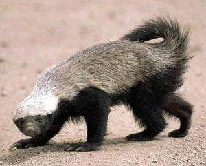 Honey Badgers Are Real Science Smithsonian