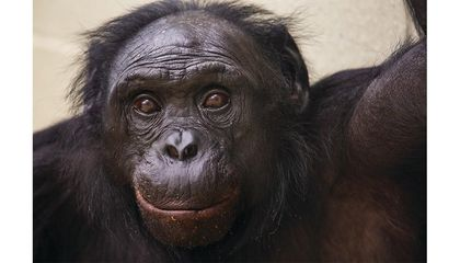 What Can Bonobos Teach Us About the Nature of Language?