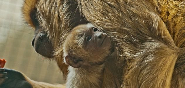 Howler monkey Chula cradles her new baby.