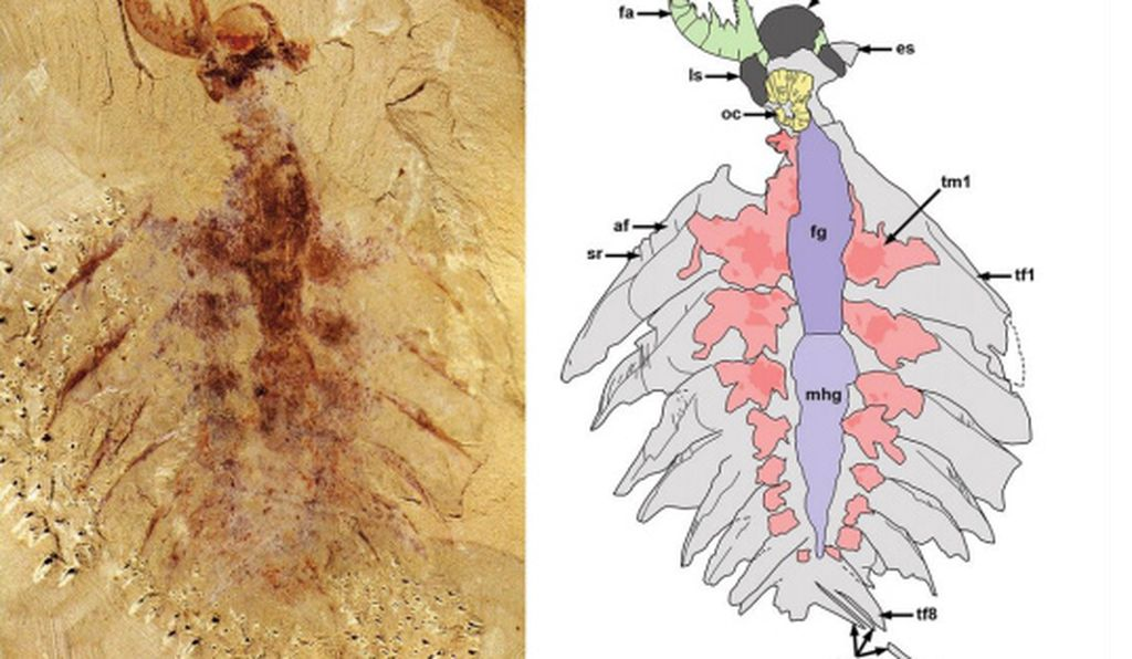A juvenile l. unguispinus fossil (left) and the scientists' interpretive drawing of its parts. The clawlike frontal appendage is visible in the upper left.