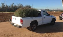 Monster Invasive Tumbleweed Is Outgrowing Its Parent Species