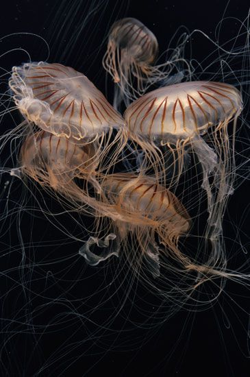 "Japanese sea nettles, Chrysaora pacifica, are featured in ""The Jellies Experience."""
