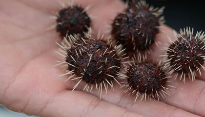How Hungry Baby Urchins Are Saving Hawaii's Reefs