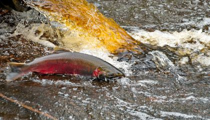 Researchers Reveal Why Seattle Salmon Bite the Dust After Rainstorms