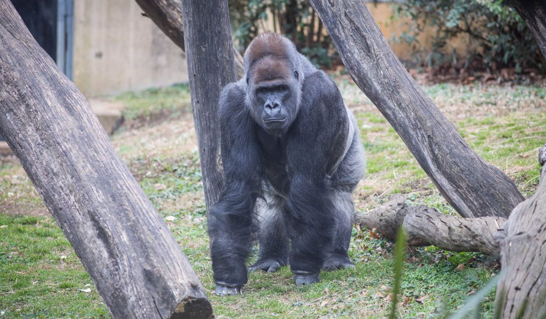 A large male silverback western lowland gorilla stands on all fours near crisscrossed logs in a grassy, outdoor yard