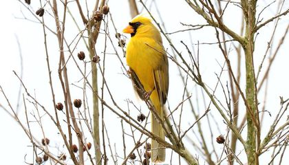 Rare Yellow Cardinal Spotted at Alabama Bird Feeder