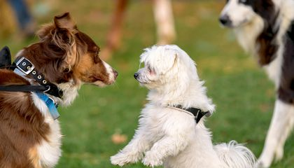 Dogs Mimic Each Other's Expressions, Too