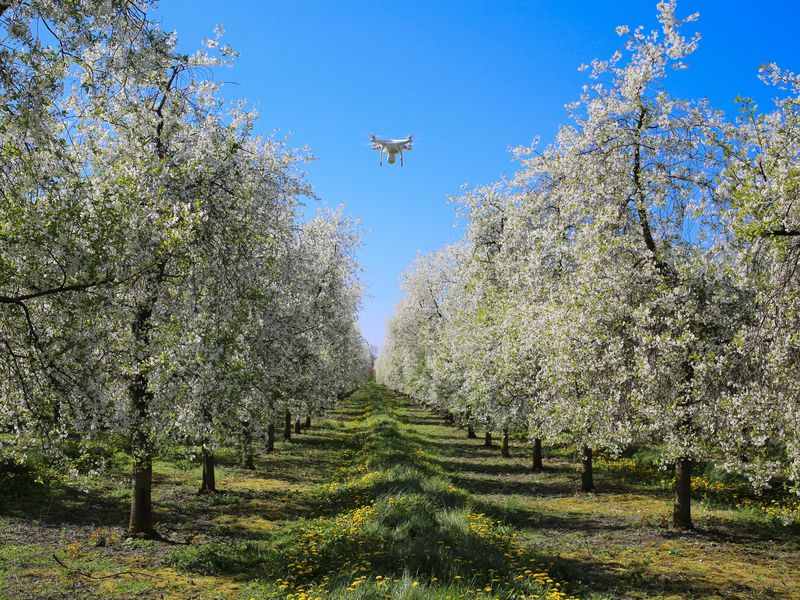 Drone over Cherry Trees