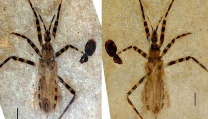 Ancient Insect Genitals Found in 50-Million-Year-Old Fossil