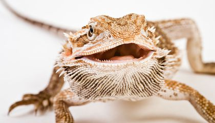 In a Warming World, Heat Interferes With Sex Determination in These Australian Lizards