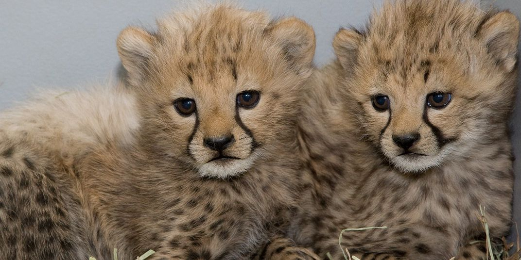 Two young cheetah cubs with scruffy fur