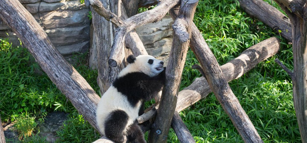 Caption: Panda Cub Bei Bei Is Belly Flopping Out of Trees