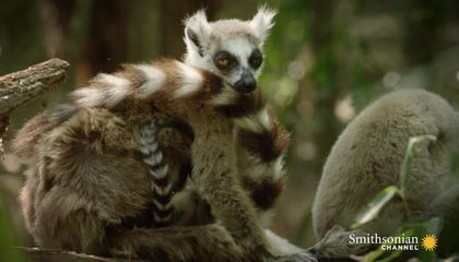 These Feisty Female Lemurs Fight With Babies on Their Back