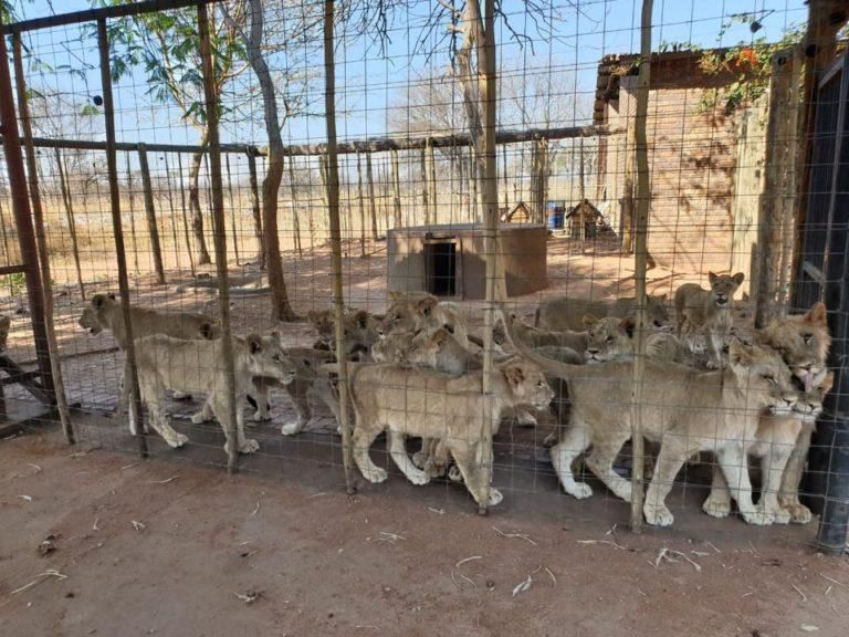 Many young lions stand in a crowded outdoor enclosure
