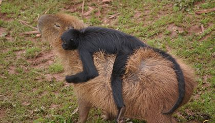 Capybaras Are Basically Nature's Chairs