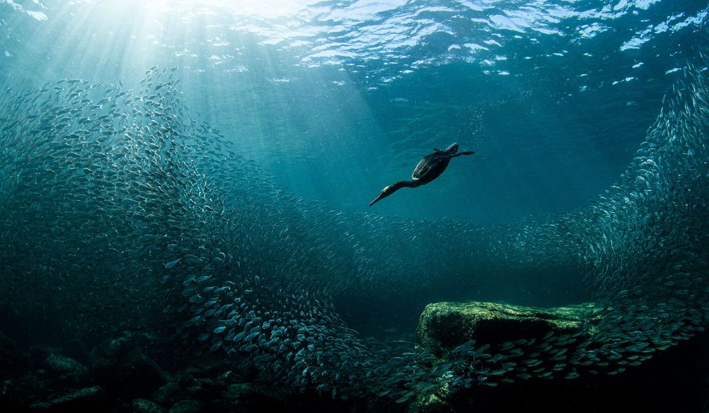A double-crested cormorant dives, surrounded by a cloud of sardines and blue-green water.