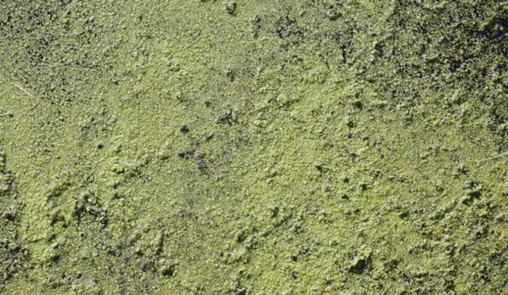 A tide of green algae in a pond